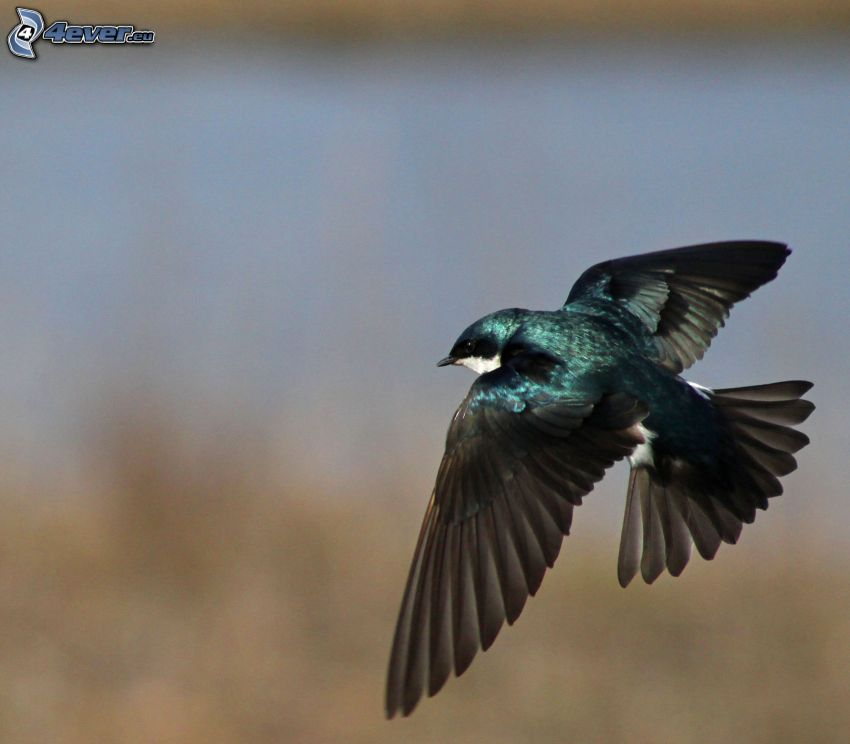 swallow, flight