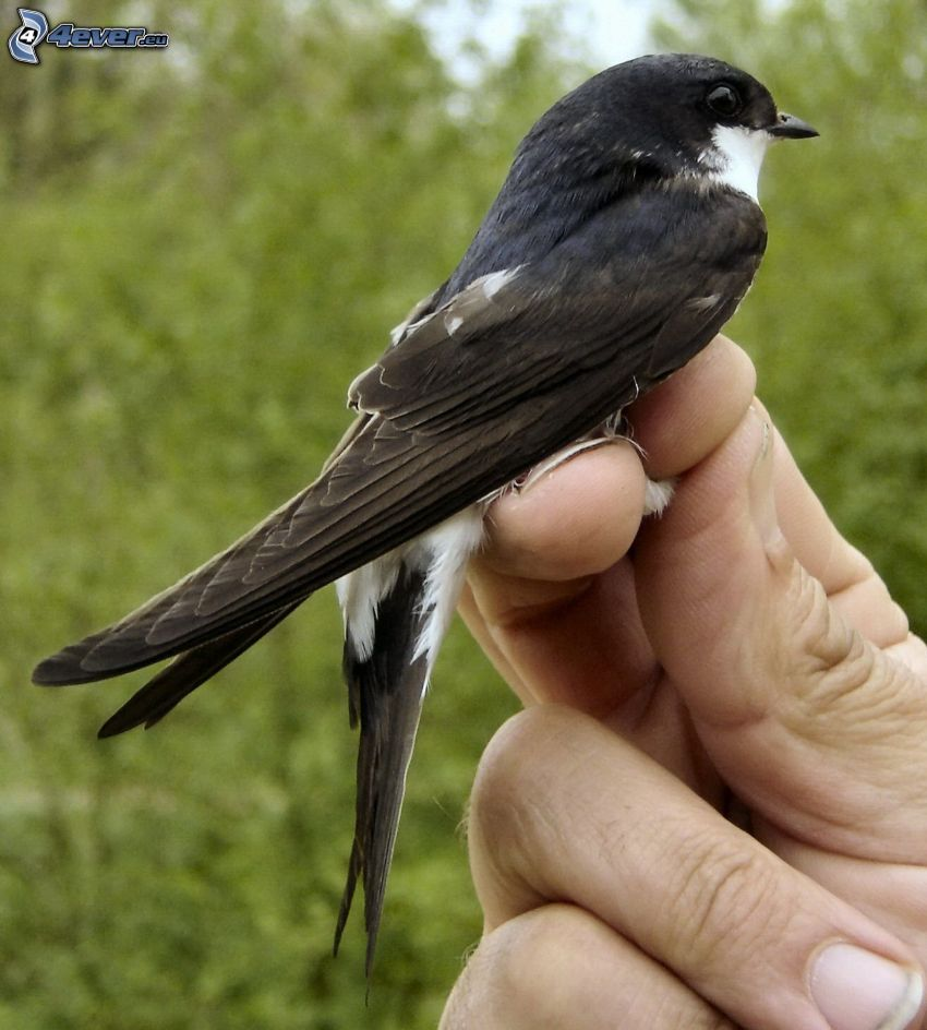 swallow, hand