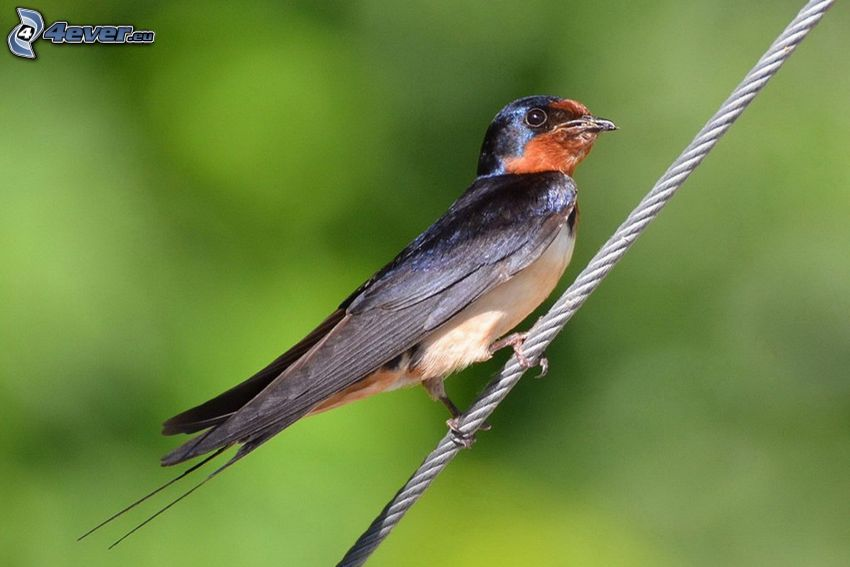 swallow, wire