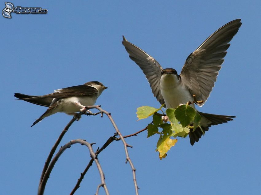 swallows, wings