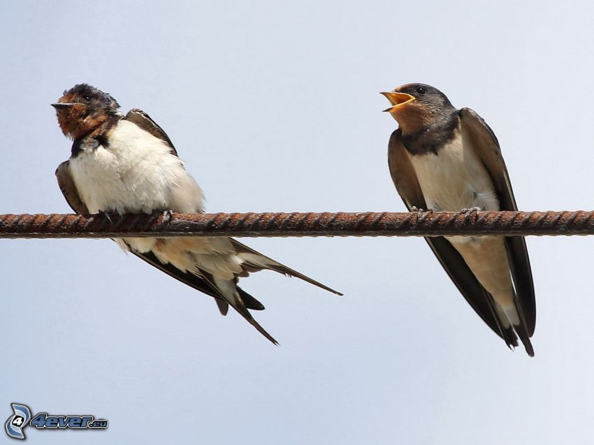 swallows, wire