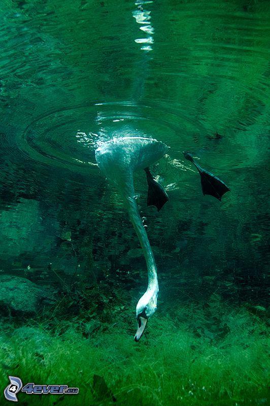 swan, swimming underwater, algae
