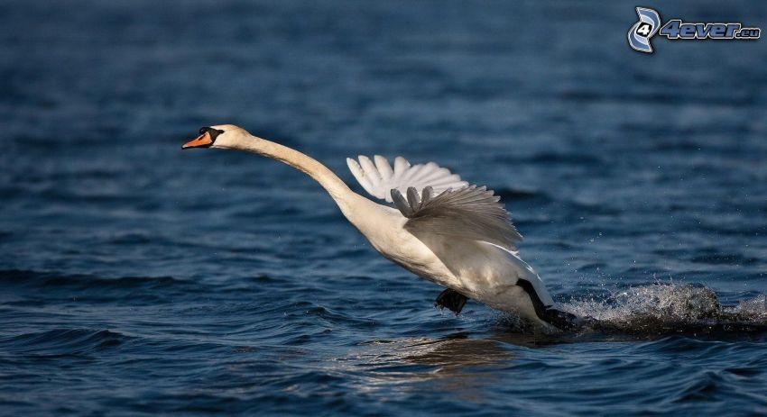 swan, water, take-off
