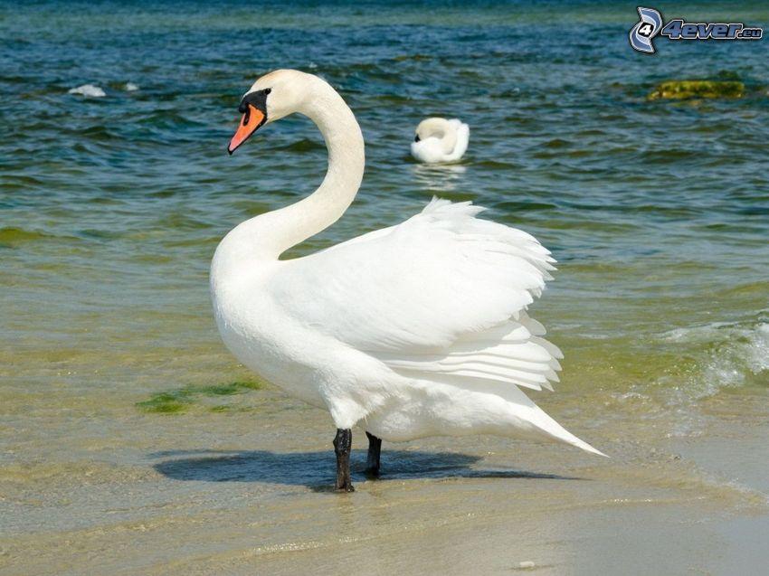 swan, water