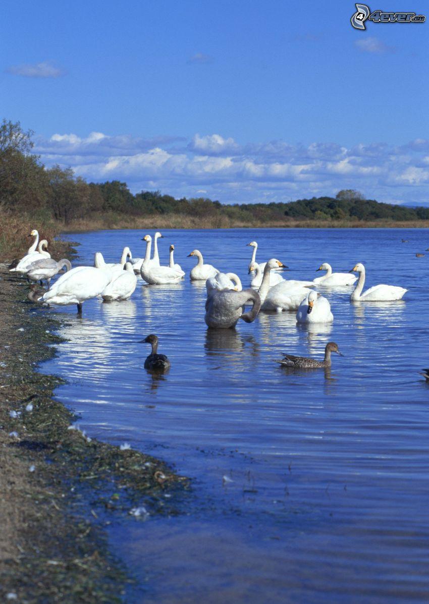 swans, ducks, lake