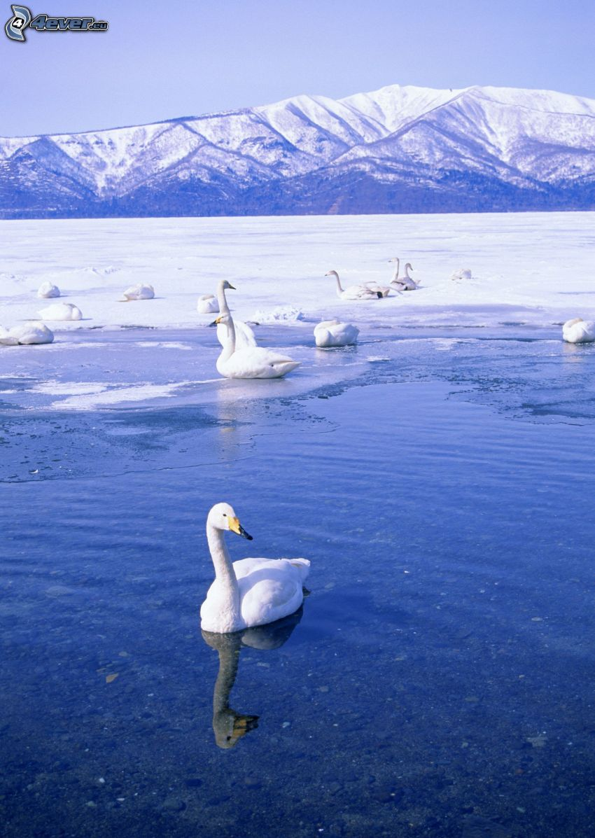 swans, frozen lake, snowy hills