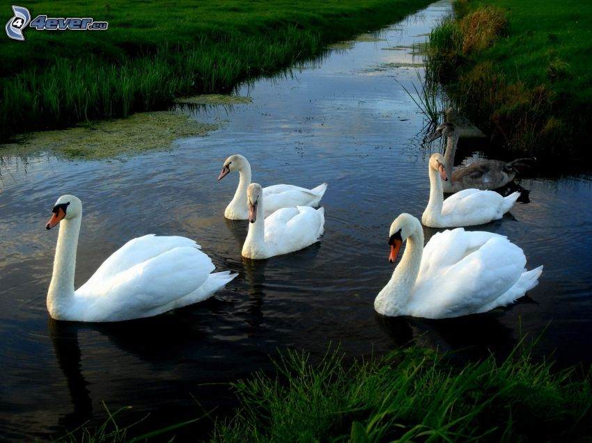 swans, water canal