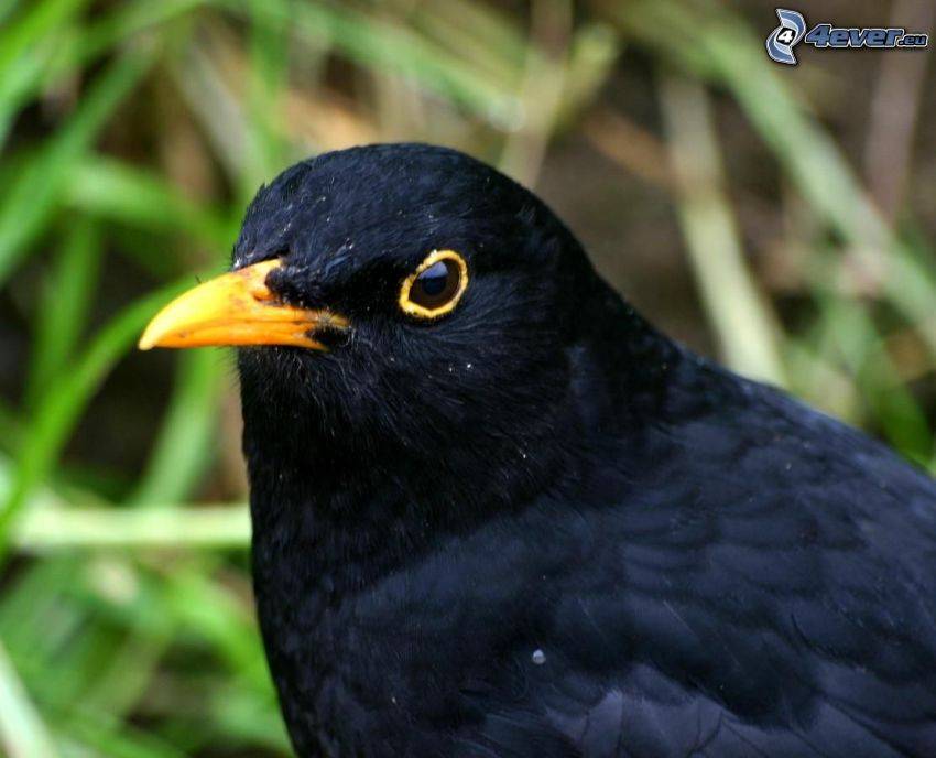 thrushes, beak