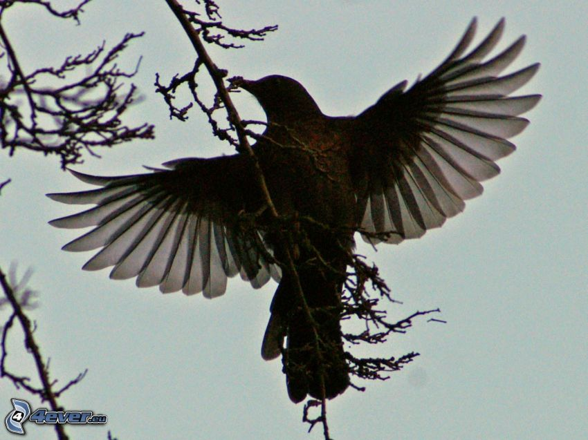 thrushes, branches