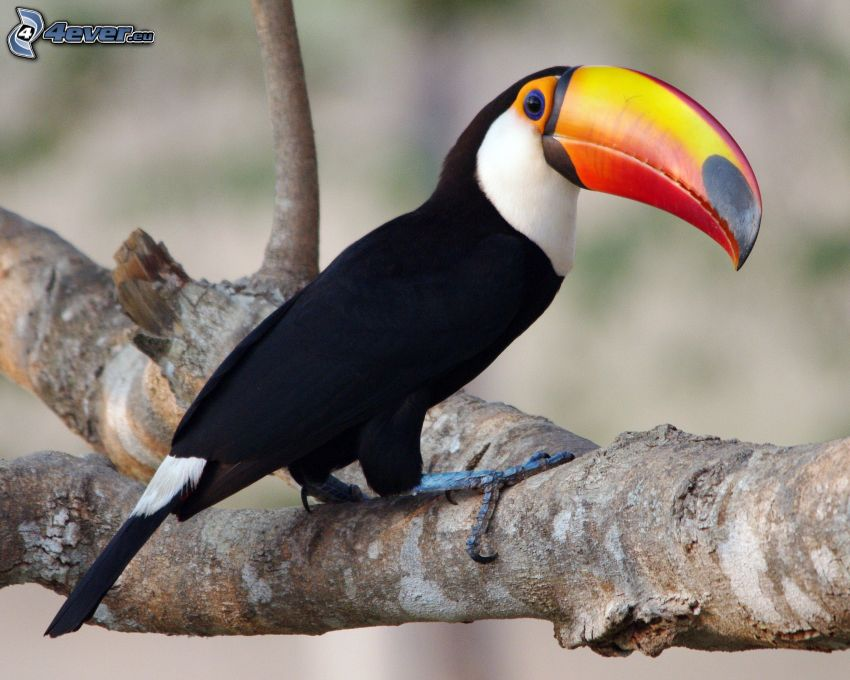 toucan, branch