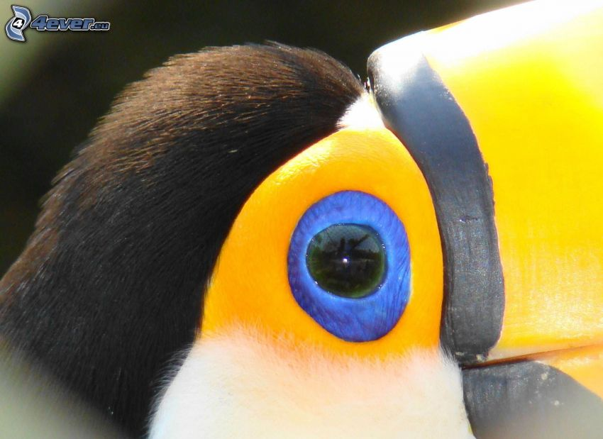 toucan, eye