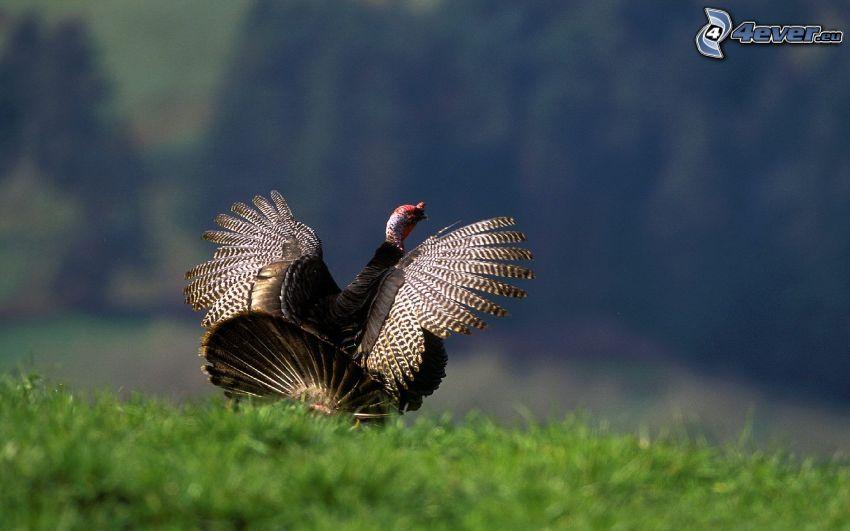 turkey, wings