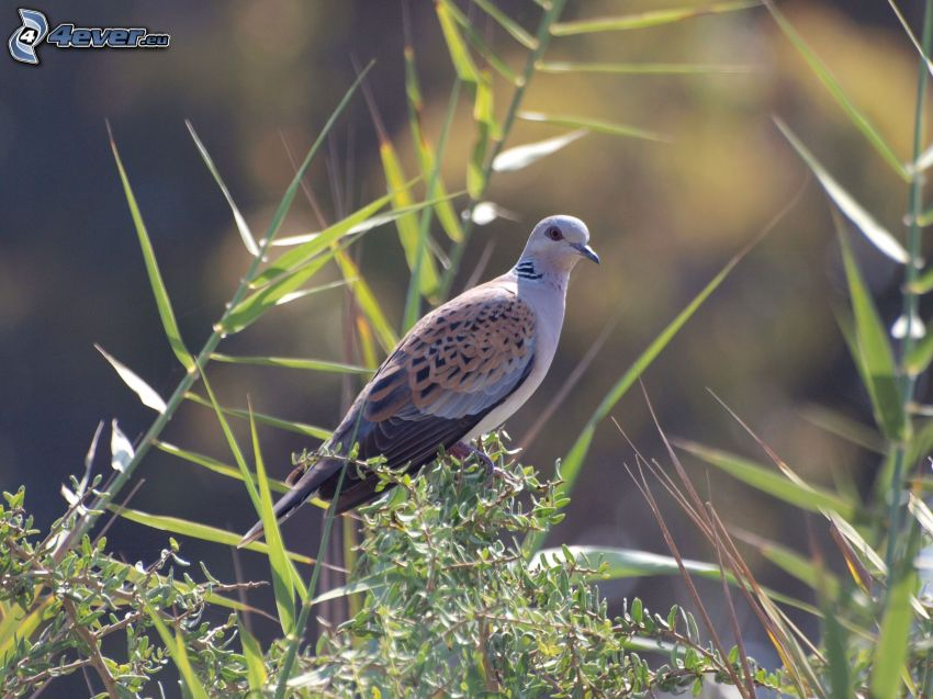 turtle dove, blades of grass