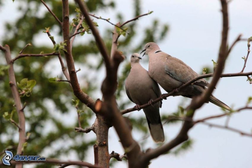 turtle dove, branches