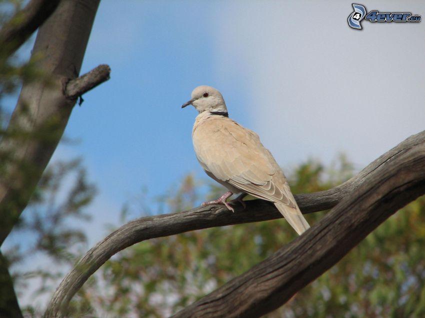 turtle dove, branches