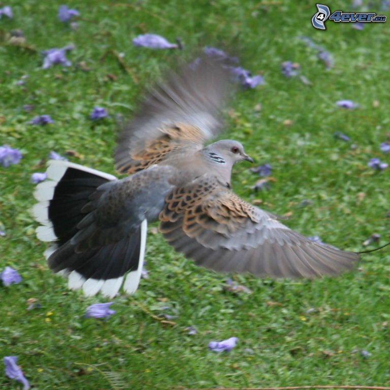turtle dove, flight