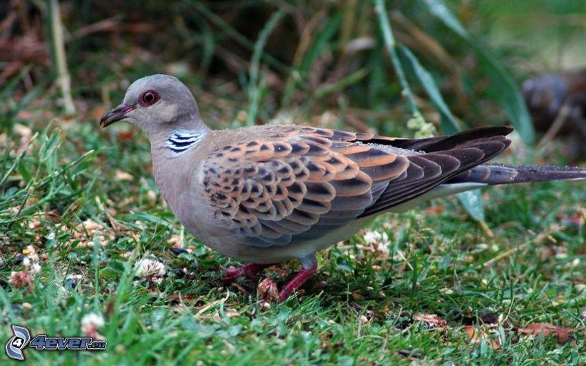 turtle dove, grass