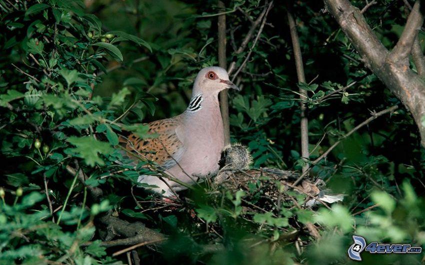 turtle dove, greenery