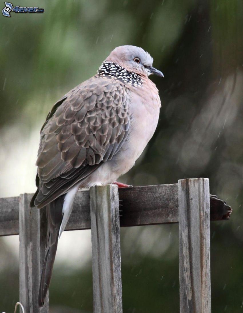 turtle dove, rain