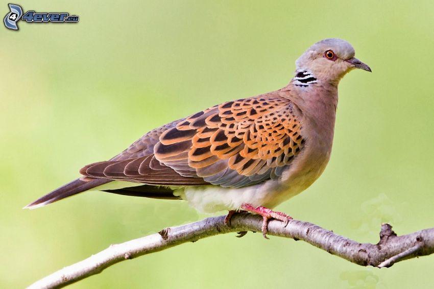 turtle dove, twig