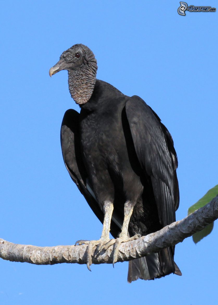 vulture, branch