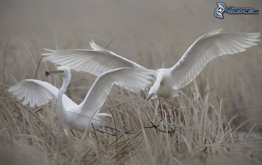 white birds, wings, dry grass