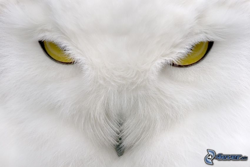 white owl, eyes