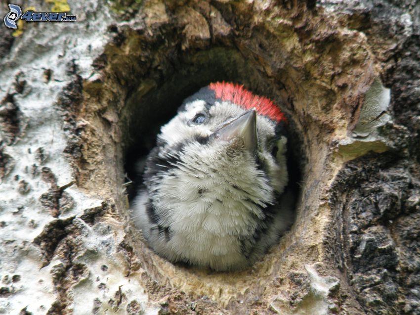 woodpecker, branch, hole