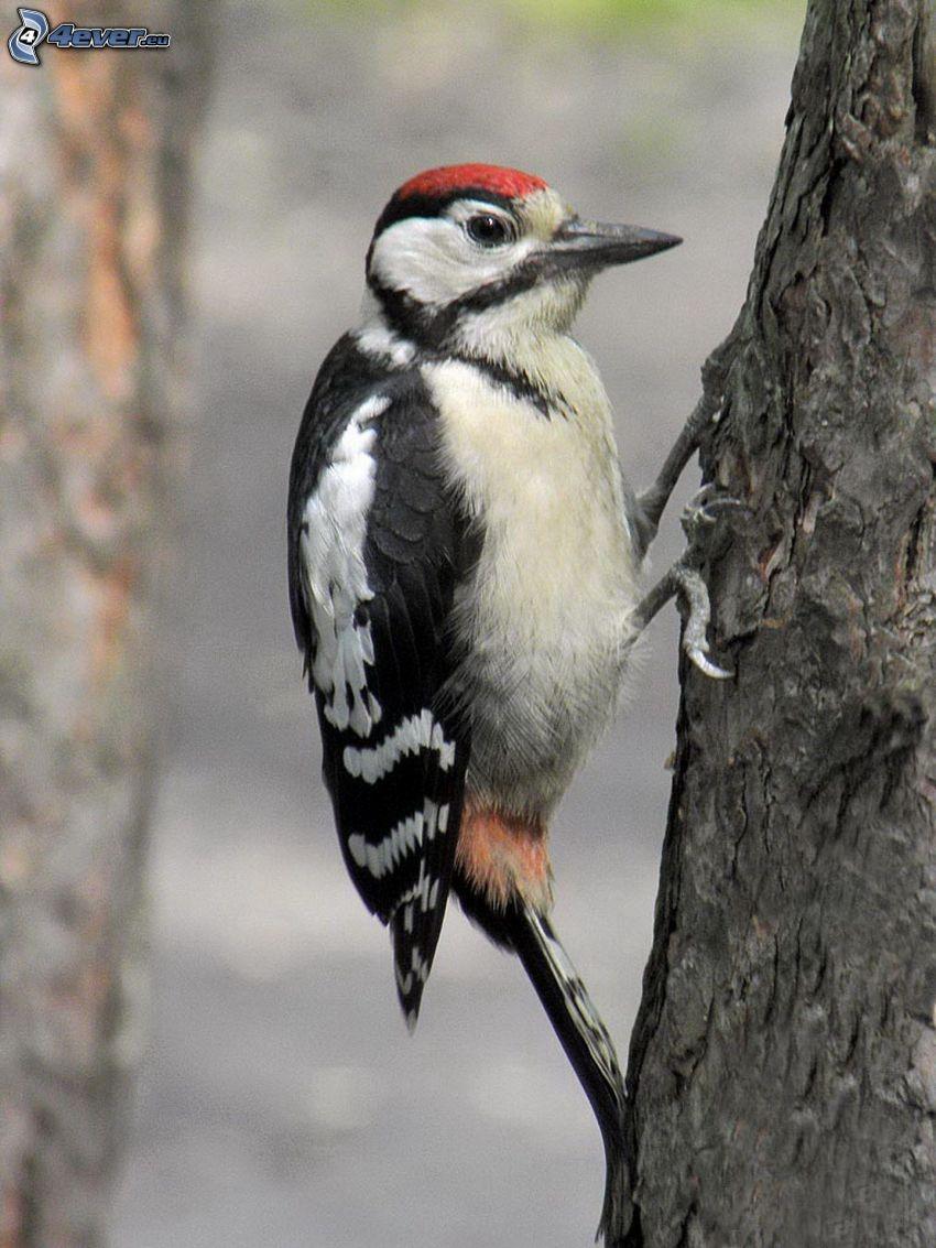 woodpecker, branch
