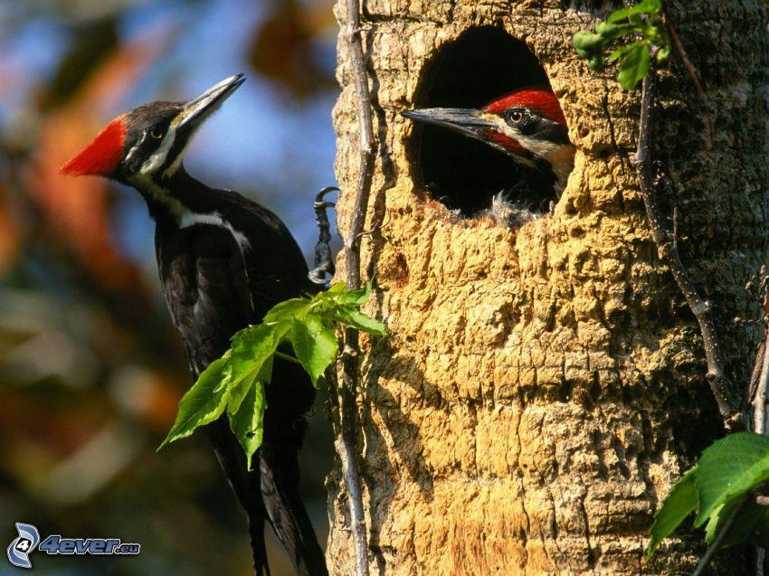 woodpecker, tree, twig