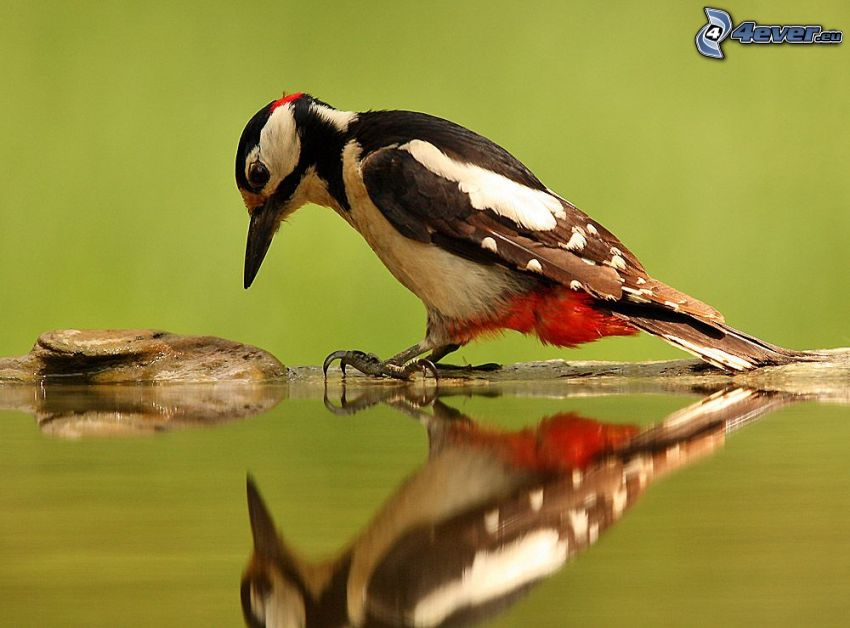woodpecker, water surface, reflection