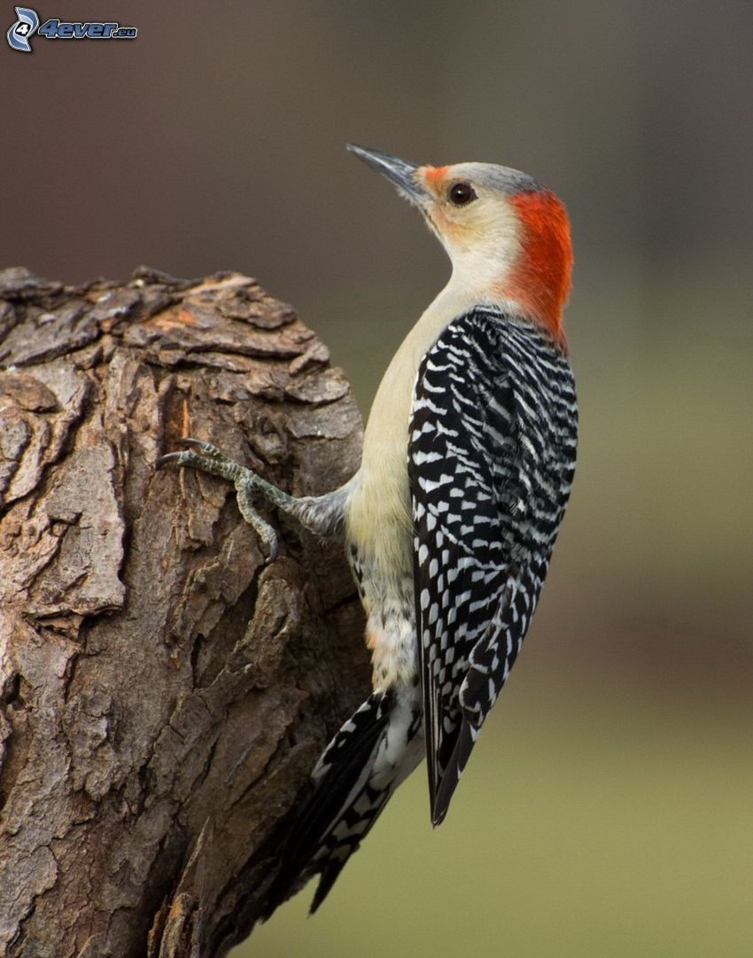 woodpecker, wood
