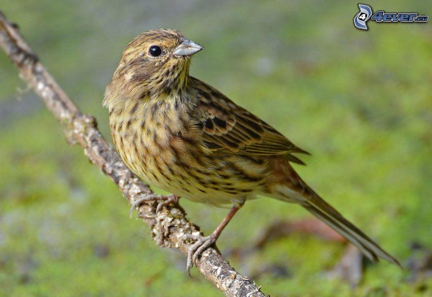 yellow bird, twig