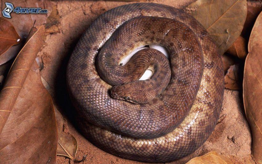 brown snake, dry leaves
