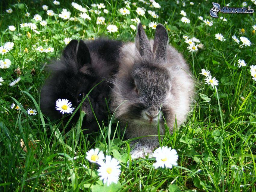 bunnies, grass, daisies