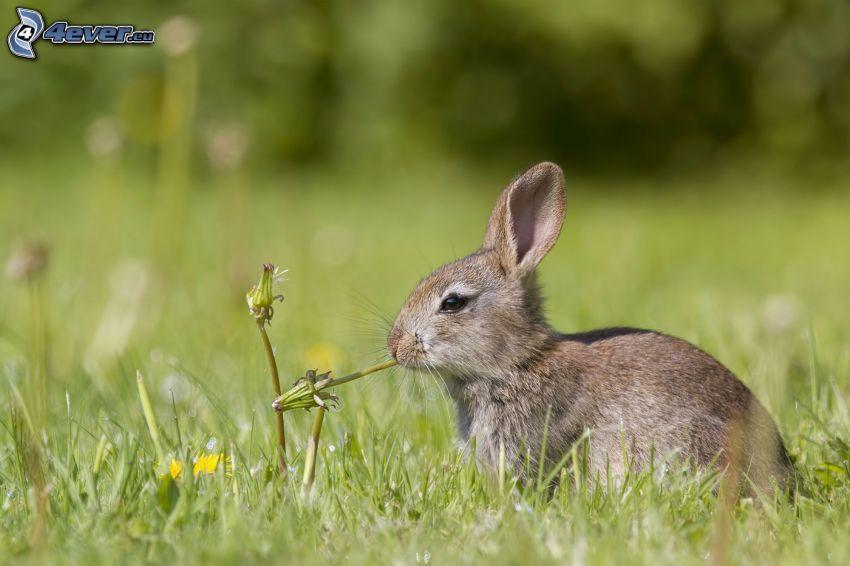 bunny, dandelion