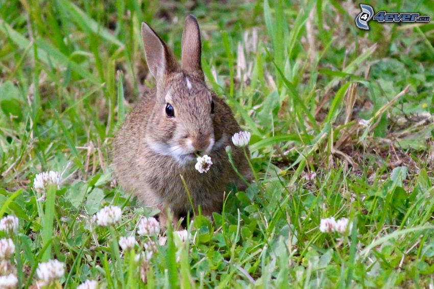 bunny, grass, clover