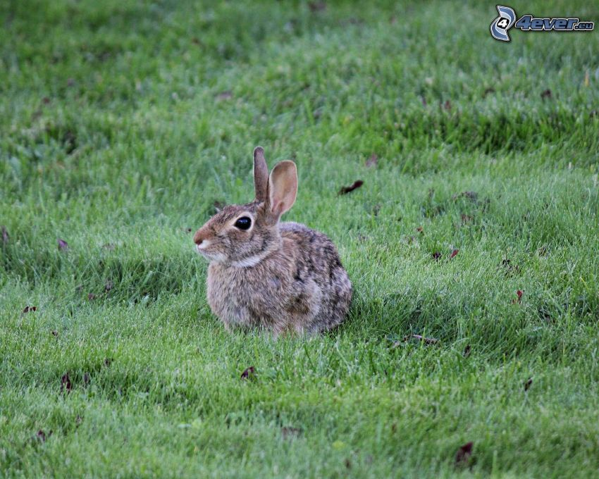 bunny, grass