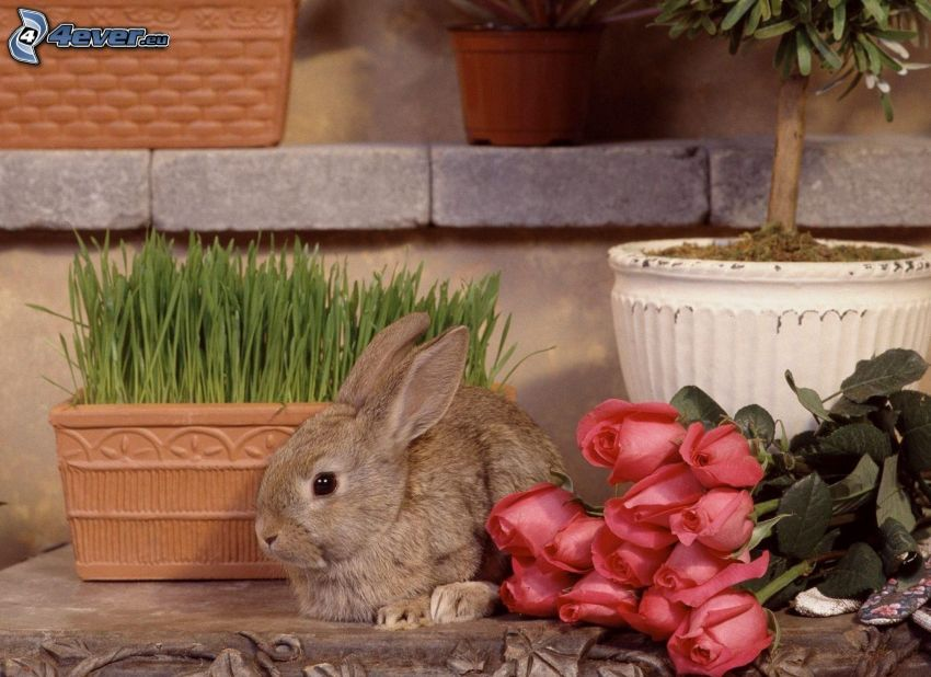 bunny, red roses