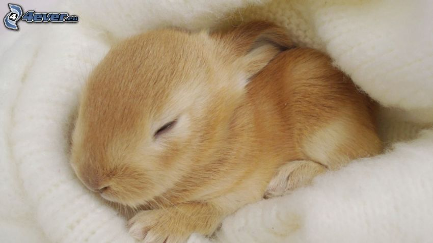 bunny, sleep