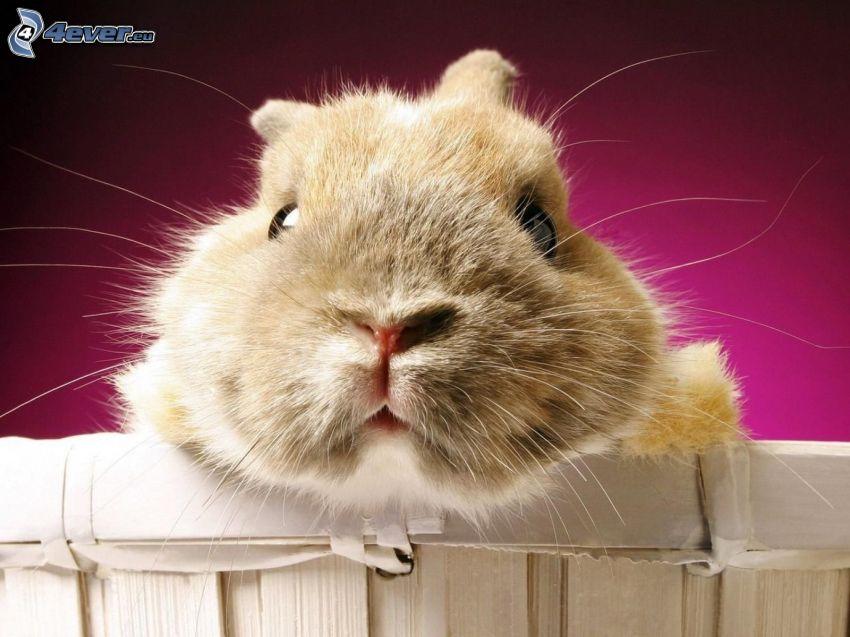 bunny, snout