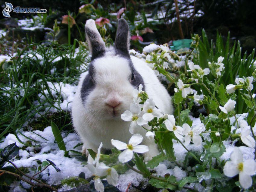 bunny, snowdrops
