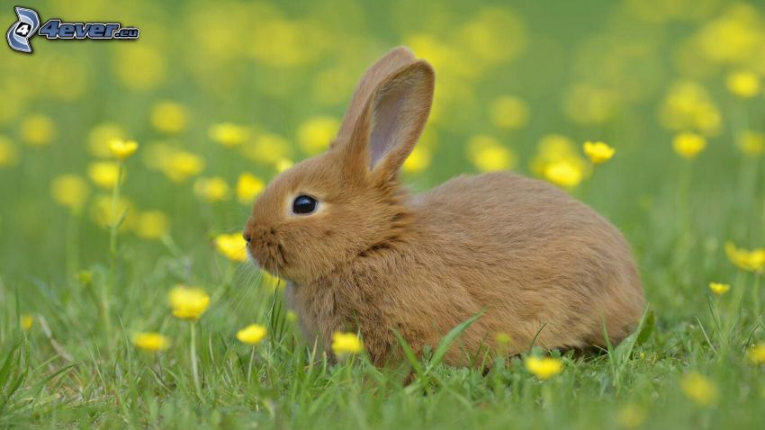 bunny, yellow flowers
