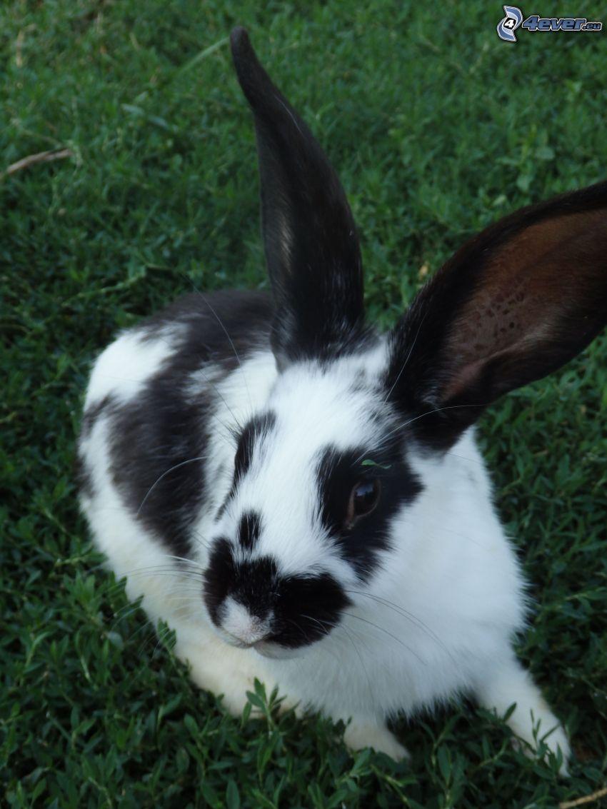 rabbit, black and white