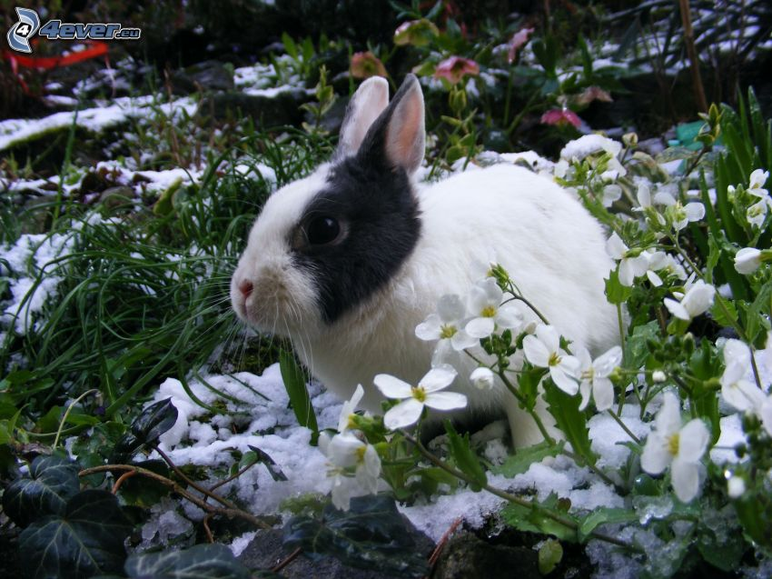 rabbit, snowdrops
