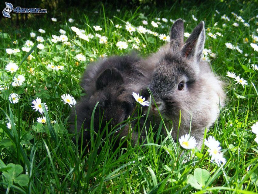 rabbits, grass, daisies