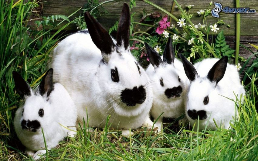 spotted rabbits, grass