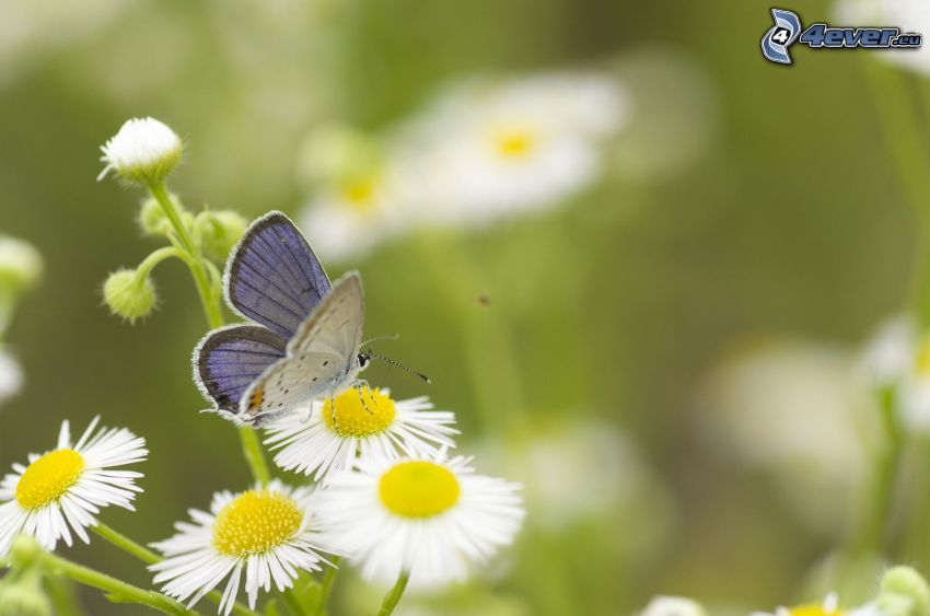butterfly on flower, daisies