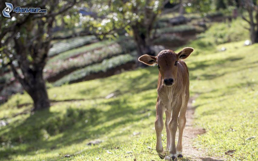 calf, path