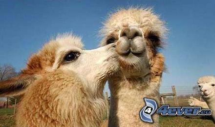 camels, kiss